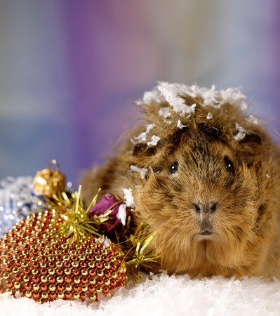 Under the Northern Lights. Christmas still life on the snow with funny cavia photo