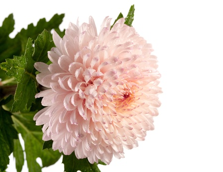 Pink and white chrysanthemum closeup photo Stock Photo - 8379715