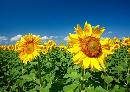 sunflowers field under bright sky