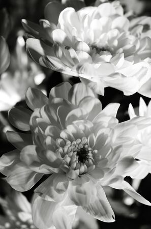 black and white abstract backgrounds. dahlia flower closeup shot photo