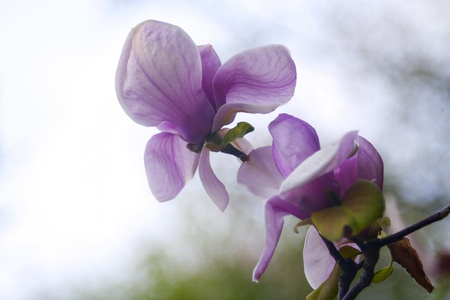 magnolia flowers over blurred abstract background. beautiful bokeh photo