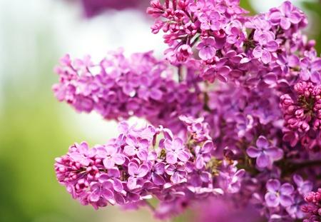 Flieder Blumen als natürliche abstrakte Hintergründe mit Schönheit bokeh
