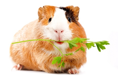 cute pig: Lunch time. Funny guinea pig portrait over white background Stock Photo