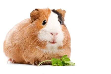 cavie: Divertente guinea pig ritratto su sfondo bianco