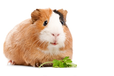 rat: Funny guinea pig portrait over white background Stock Photo