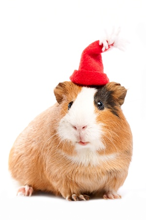 cute pig: Funny guinea pig portrait over white background Stock Photo