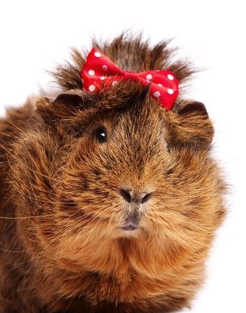 guinea: Funny guinea pig portrait over white background Stock Photo