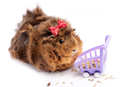 cavie: Shopping. Divertente guinea pig ritratto su sfondo bianco