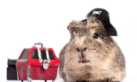 christmas guinea pig: Buccaneer treasure. Funny guinea pig portrait over white background