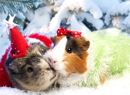 Funny Xmas still life with couple of guinea pig photo