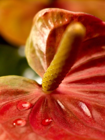anthurium: closeup view of anthurium flowers with water droplets