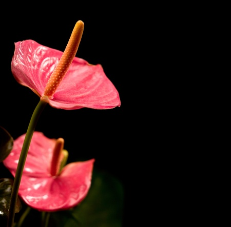 anthurium: closeup of anthurium flowers over black background with copy space