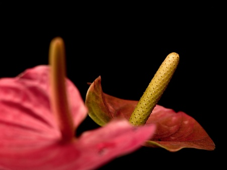 closeup of anthurium flowers over black background with copy space photo