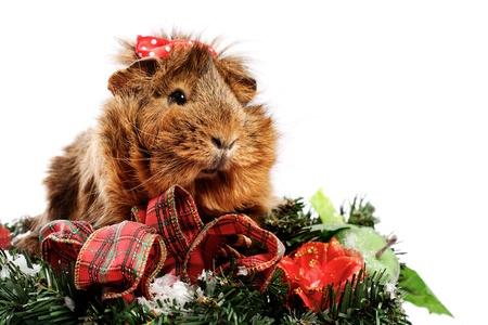 Funny Animal. Guinea Pig Christmas portrait photo