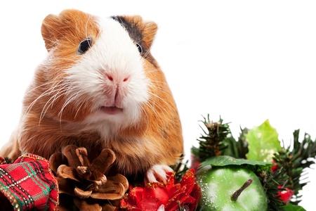 guinea pig: Funny Animal. Guinea Pig Christmas portrait
