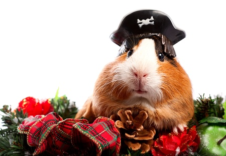 Funny Animal. Guinea Pig Christmas portrait photo