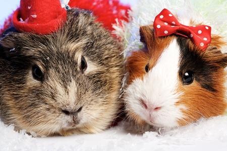 red animal: Funny Animals. Guinea pig Christmas portrait