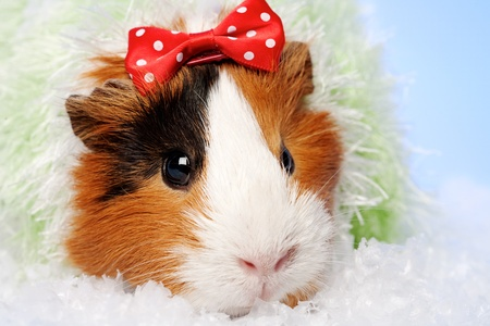 Funny Animals. Guinea pig Christmas portrait photo