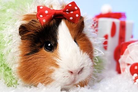 male pig: Funny Animals. Guinea pig Christmas portrait