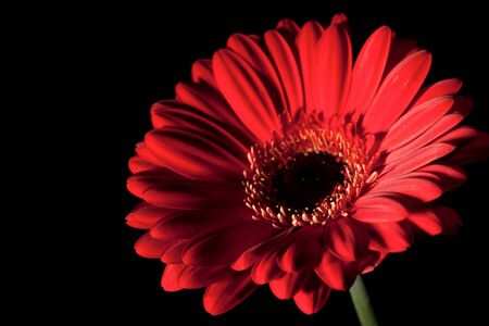 Purple gerbera flower over black backgrounds photo