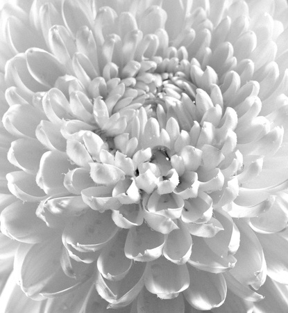 chrysanthemums: Dahlia flower black and white scanned closeup photo  Shot with view camera  Film grain are possible