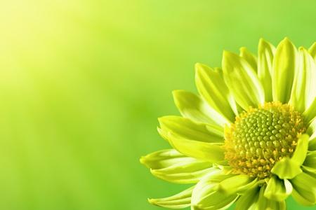 阳光下的雏菊花,夏日的背景