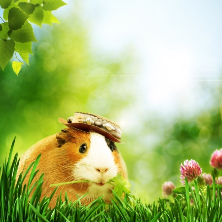 animal  beautiful: Funny guinea pig or cavia. Abstract natural backgrounds