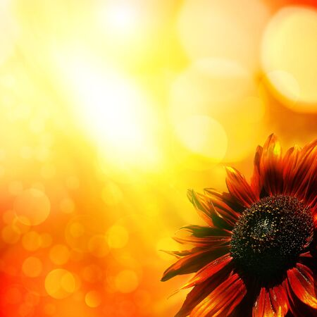 Sunflower. Abstract natural backgrounds photo