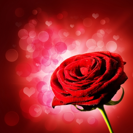 red rose bokeh: Abstract purple backgrounds with red rose abd beauty bokeh
