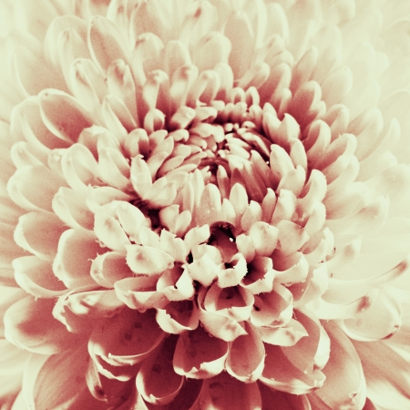 Dahlia flower black and white scanned closeup photo. Stock Photo - 15656431