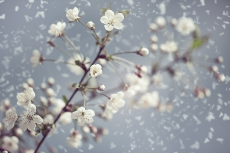 snow flowers: Early Spring. Abstract natural backgrounds with blossom snowy apricot flowers Stock Photo