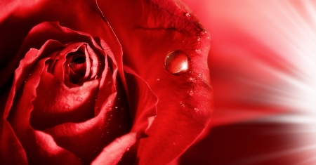 red rose petals  with water droplets and rays of light. abstract backgrounds Stock Photo - 17968414