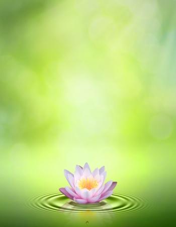 flor de loto: Lirio de agua. Resumen or�genes orientales