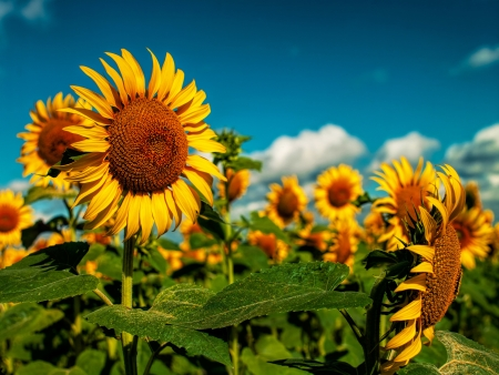 Sunflowers field under golden summer sun photo