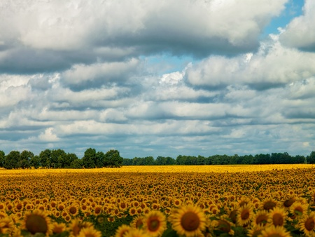 Sunflower fields under the moody skies, summer natural landscape photo