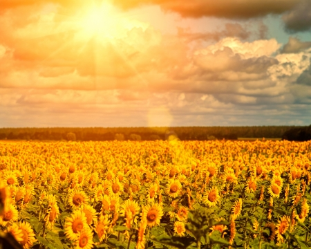 Golden summer sun over the sunflower fields, natural landscape photo