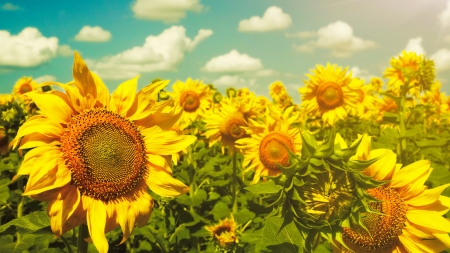 Sunflowers under the blue sky. beautiful rural scene photo