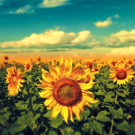 Tournesols sous le ciel bleu. belle scène rurale Banque d'images - 21370643