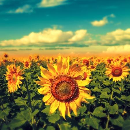 Zonnebloemen onder de blauwe hemel. mooie landelijke scène