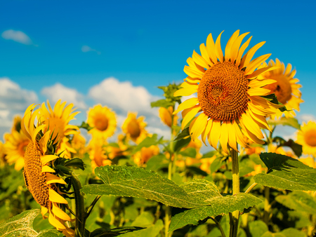 Beauty Sunflowers on the field, natural landscape photo
