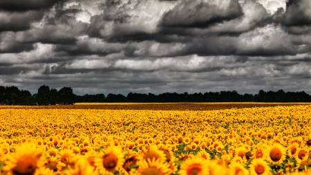 van Gogh Summer. Dramatic evening over sunflowers meadow, natural landscape photo
