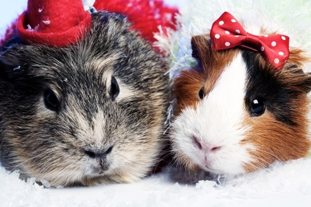 pair of guinea pigs photo