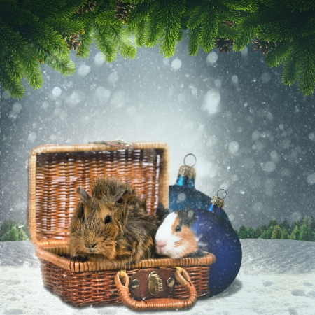 christmas guinea pig: Abstract winter and Xmas backgrounds with funny animals for your design Stock Photo