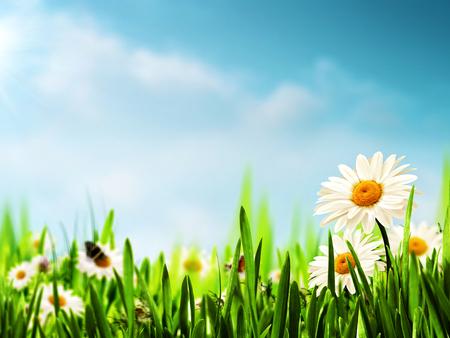 blue daisy:  Daisy flowers on the meadow, seasonal backgrounds
