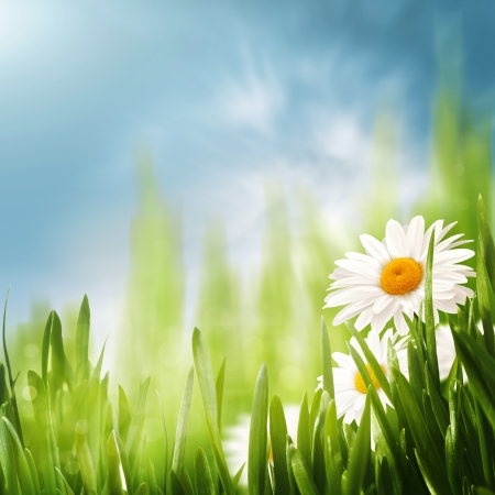 Daisy flowers on the meadow, seasonal backgrounds  photo