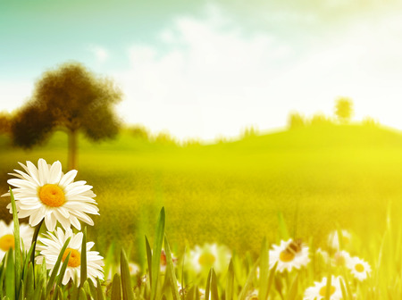 field of daisies: Bright summer afternoon.