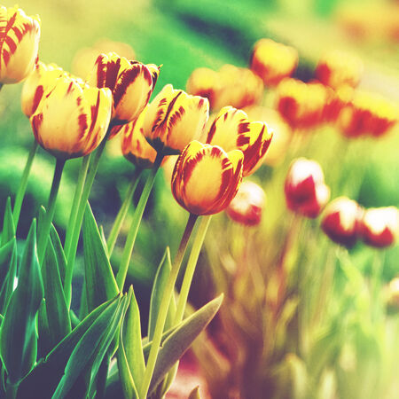 Grungy floral backgrounds. Beauty tulip on the meadow, lomo style artwork