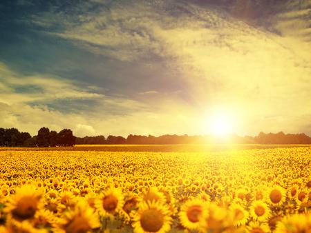 sunflower field: beauty sunflowers under blue skies and golden evening sun