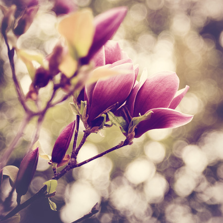 Abstract floral backgrounds with magnolia flowers and beauty bokeh Stock Photo