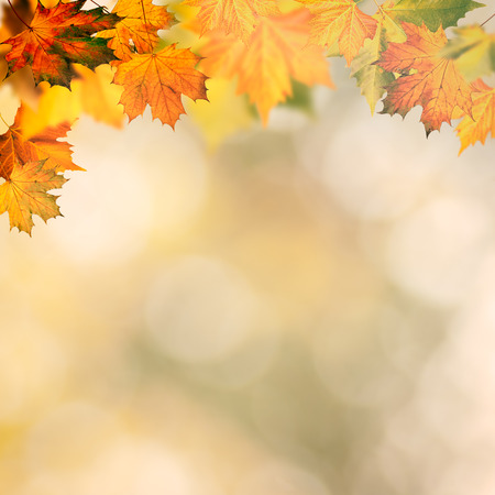 Abstract autumnal backgrounds wit yellow maple foliage